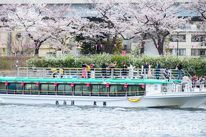 We also have a noon cherry-blossom viewing tour